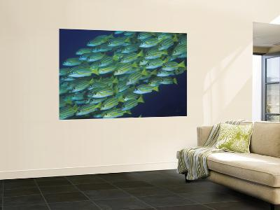 Close-Up of Schooling Lined Snappers, Komodo National Park, Indonesia-Jones-Shimlock-Wall Mural