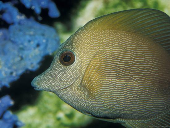 Close-Up of Scopus Brown Tang Fish Head Eye Fin Profile, Coral Behind, Australia-Jason Edwards-Photographic Print