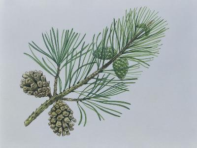Close-Up of Scotch Pine Cones on a Branch (Pinus Sylvestris)--Giclee Print