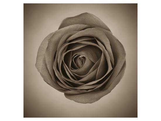 Close-Up of Sepia Rose--Art Print