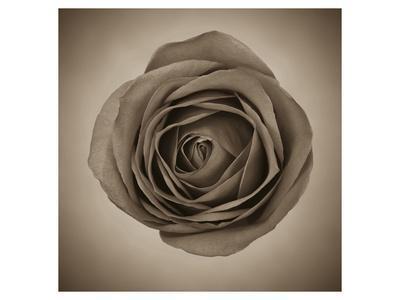 https://imgc.artprintimages.com/img/print/close-up-of-sepia-rose_u-l-f8azt90.jpg?p=0