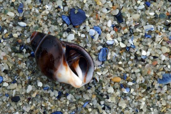 Close Up of Shell on a Beach, Lambert's Bay-Keith Ladzinski-Photographic Print