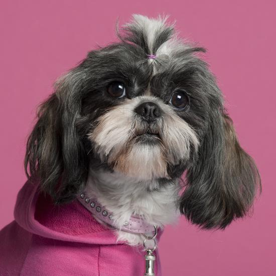 Close-Up Of Shih Tzu In Pink, 2 Years Old, In Front Of Pink Background-Life on White-Photographic Print