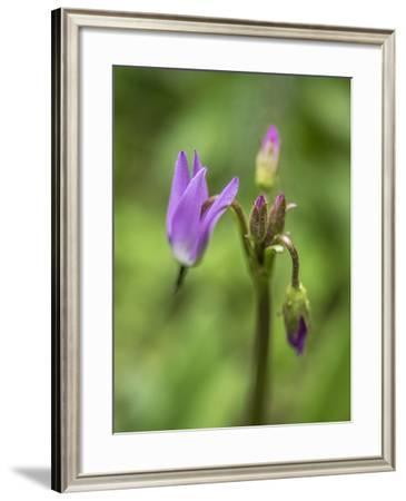 Close Up of Shooting Star Flowers, Dodecatheon Frigidum-Jay Dickman-Framed Photographic Print
