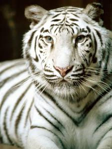 Close Up of Siberian Tiger in the Wild