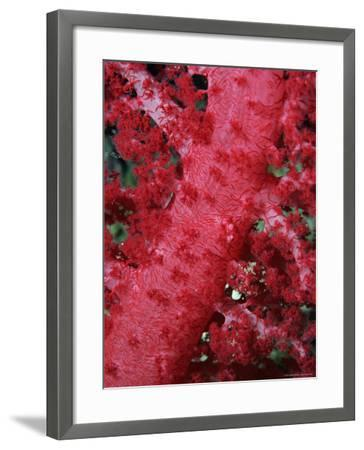 Close-up of Soft Coral, off Sharm El-Sheikh, Sinai, Red Sea, Egypt, North Africa, Africa-Upperhall Ltd-Framed Photographic Print