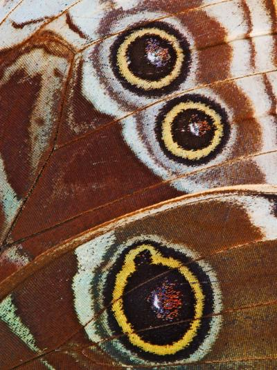 Close-up of Spots on Blue Morpho Butterfly Wing-Adam Jones-Photographic Print