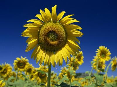 Close-Up of Sunflower in a Field of Flowers in Tuscany, Italy, Europe-Gavin Hellier-Photographic Print