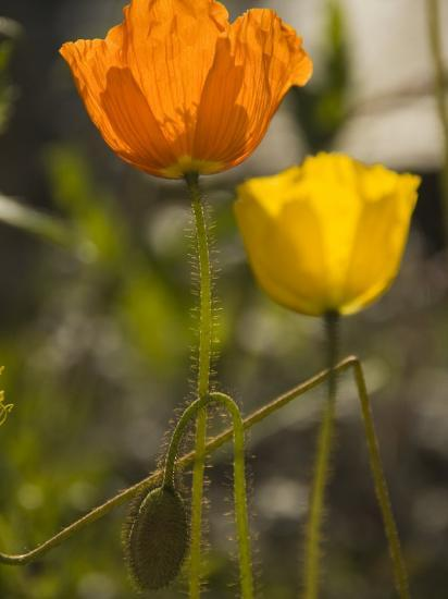 Close-up of Sunlit Poppies-Annie Griffiths Belt-Photographic Print