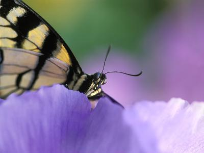 Close-up of Swallowtail Butterfly on Petunia in Garden-Nancy Rotenberg-Photographic Print