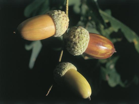 Close-Up of the Acorns on an Oak Tree (Quercus Robur)-C^ Sappa-Photographic Print