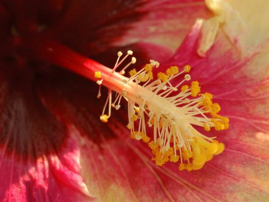 Close-Up of the Center of a Cultivated Hibiscus Flower, Belmont, Massachusetts, USA-Darlyne A^ Murawski-Photographic Print