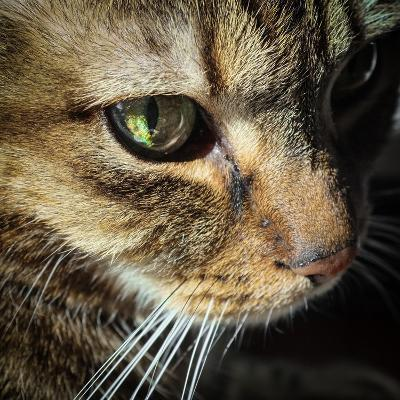 Close Up of the Eye and Face of a Pet Tabby Cat, in Sunlight Through a Window-Amy and Al White and Petteway-Photographic Print