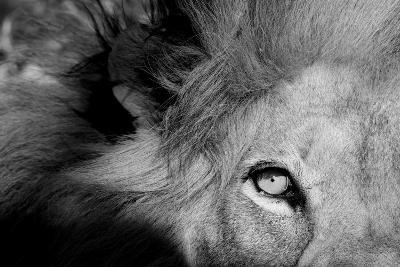 Close Up of the Eye of a Male Lion, Panthera Leo-Sergio Pitamitz-Photographic Print