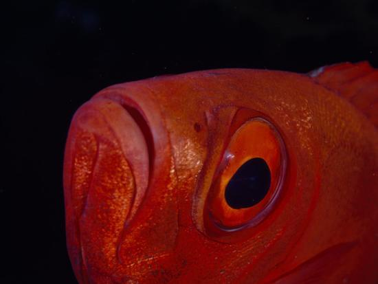 Close Up of the Eye of a Red Bigeye Fish-Paul Sutherland-Photographic Print