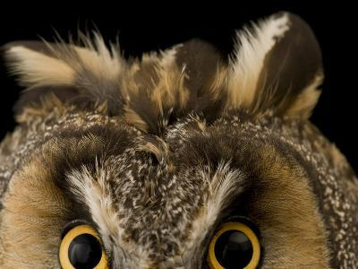 Close-up of the Eyes and Ears of a Long-Eared Owl, Asio Otus-Joel Sartore-Photographic Print