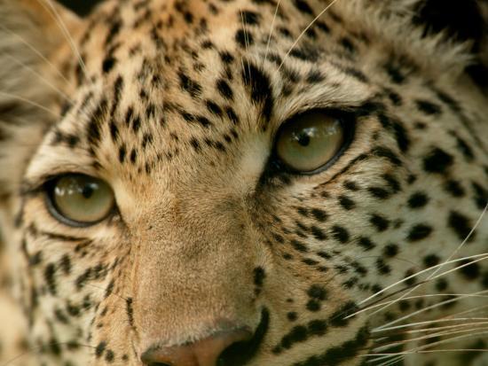 Close-Up of the Face of a Leopard, Panthera Pardus, Mombo, Okavango Delta, Botswana-Beverly Joubert-Photographic Print