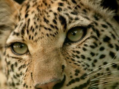 https://imgc.artprintimages.com/img/print/close-up-of-the-face-of-a-leopard-panthera-pardus-mombo-okavango-delta-botswana_u-l-p6fep60.jpg?p=0