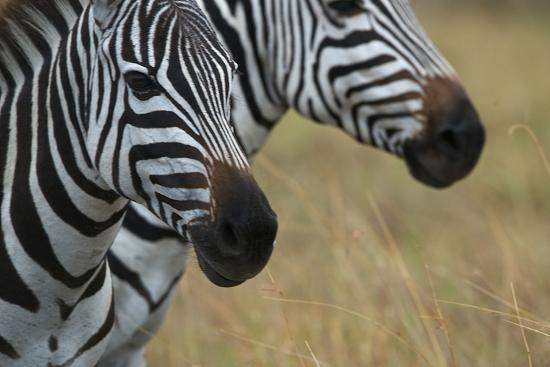 Close Up of the Faces of Two Zebras, Equus Species-Bob Smith-Photographic Print