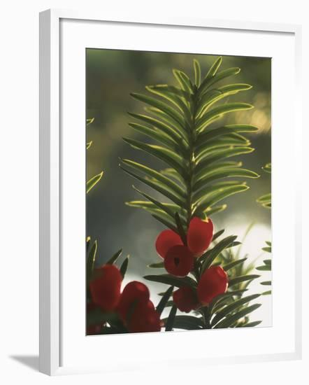 Close-Up of the Fruit of a Yew Tree (Taxus Baccata)-C. Sappa-Framed Photographic Print