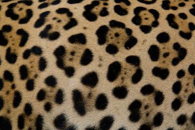Close Up of the Fur of a Jaguar, Panthera Onca-Steve Winter-Photographic Print