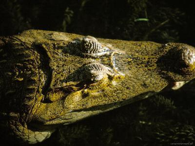 Close-Up of the Head of a Common Caiman, River Chagres, Soberania Forest National Park, Panama-Sergio Pitamitz-Photographic Print