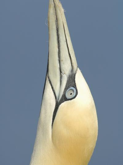 Close Up of the Head of a Northern Gannet During Sky Pointing Courtship Behavior, Scotland, UK-Solvin Zankl-Photographic Print