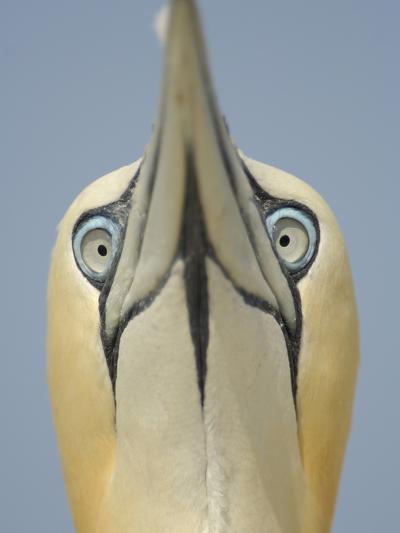 Close Up of the Head of a Northern Gannet During Sky Pointing Courtship Display, Scotland, UK-Solvin Zankl-Photographic Print