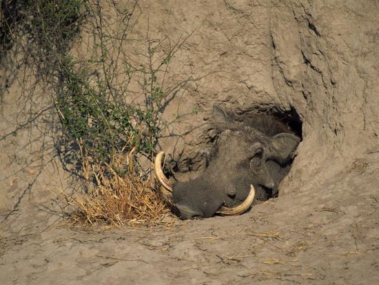 Close-Up of the Head of a Warthog, in a Burrow, Okavango Delta, Botswana-Paul Allen-Photographic Print