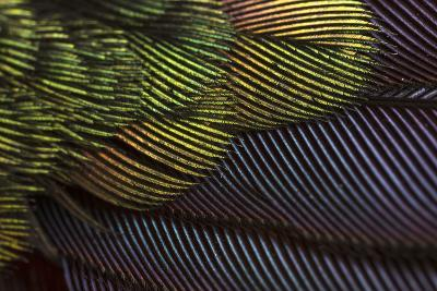 Close Up of the Iridescent Tail of a Male Tyrian Metaltail Hummingbird, Metallura Tyrianthina-Anand Varma-Photographic Print