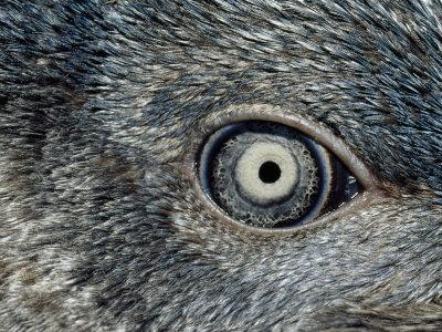 https://imgc.artprintimages.com/img/print/close-up-of-the-mosaic-eye-and-plumage-of-a-young-fairy-penguin_u-l-p5v5j90.jpg?p=0