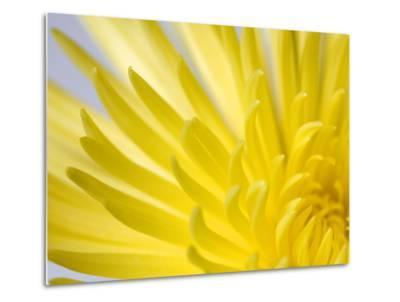 Close Up of the Petals of a Yellow Chrysanthemum Flower-Vickie Lewis-Metal Print