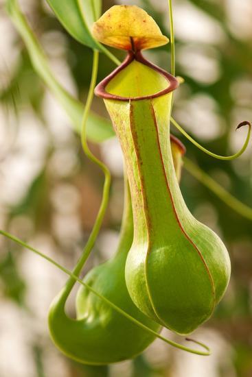 Close Up of the Pitchers of a Common Pitcher Plant, Sarracenia Purpurea-Darlyne A^ Murawski-Photographic Print