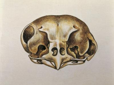 Close-Up of the Skull of an Owl--Giclee Print