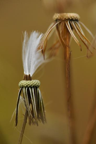 Close Up of the Spent Seed Pods of a Prickly Lettuce Plant-Michael Forsberg-Photographic Print