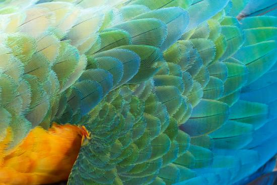 Close Up of the Wing and Feathers of a Beautiful Wild Harlequin Macaw-Alex Saberi-Photographic Print
