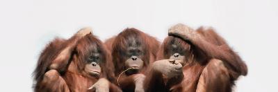 Close-Up of Three Orangutans--Photographic Print
