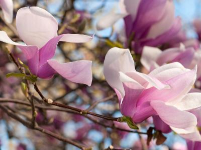 Close Up of Tulip Magnolia Flowers, Magnolia Liliflora, in Springtime-Darlyne A^ Murawski-Photographic Print