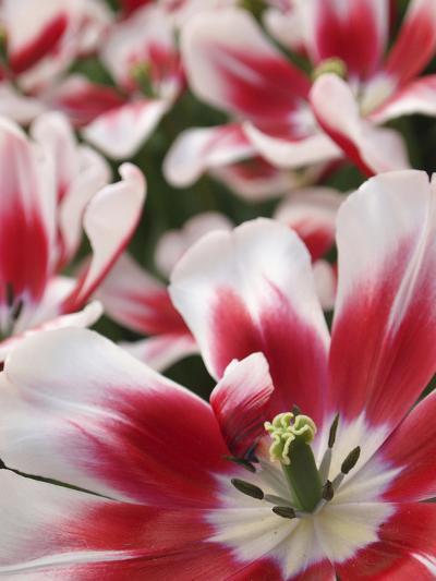 Close-Up of Tulip-Anna Miller-Photographic Print
