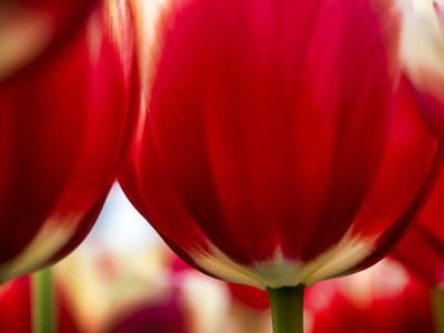 https://imgc.artprintimages.com/img/print/close-up-of-tulips_u-l-q1ga6hc0.jpg?p=0