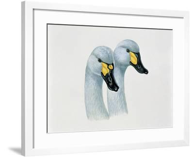 Close-Up of Two Bewick's Swans Mating (Cygnus Columbianus Bewickii)--Framed Giclee Print
