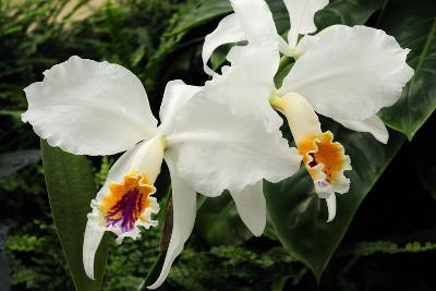 Close Up of Two Cattleya Orchids-Darlyne A^ Murawski-Photographic Print