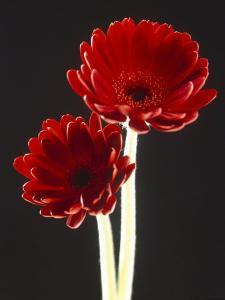 Close-up of Two Deep Red Flowers with White Stems on Black Background