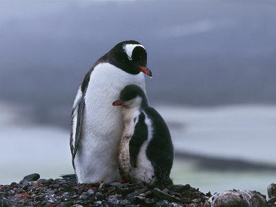 Close-Up of Two Gentoo Penguins, Yankee Harbor, Greenwich Island, Antarctica (Pygoscelis Papua)-C^ Dani I^ Jeske-Photographic Print