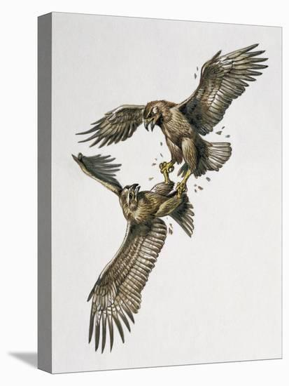 Close-Up of Two Golden Eagles Fighting (Aquila Chrysaetus)--Stretched Canvas Print