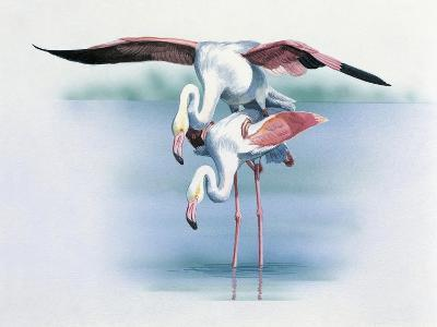 Close-Up of Two Greater Flamingos Mating (Phoenicopterus Ruber)--Giclee Print