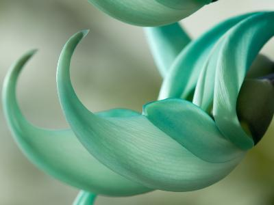 Close Up of Two Jade Vine Flowers, Strongylodon Macrobotrys-Darlyne A^ Murawski-Photographic Print