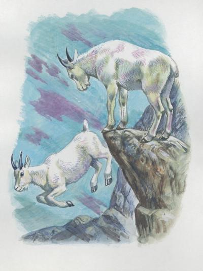 Close-Up of Two Mountain Goats (Oreamnos Americanus)--Photographic Print