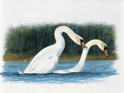 Close-Up of Two Mute Swans Mating--Giclee Print
