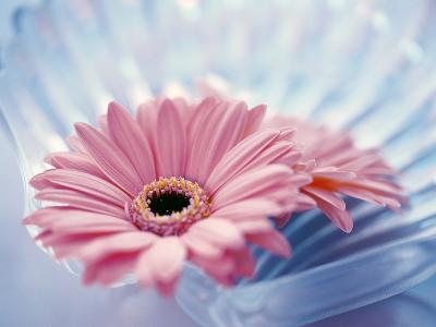 Close Up of Two Pink Gerbera Daisies in Water Ripples--Photographic Print